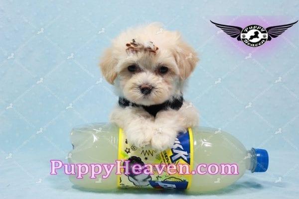 Mr. Handsome - Maltipoo Puppy -10627