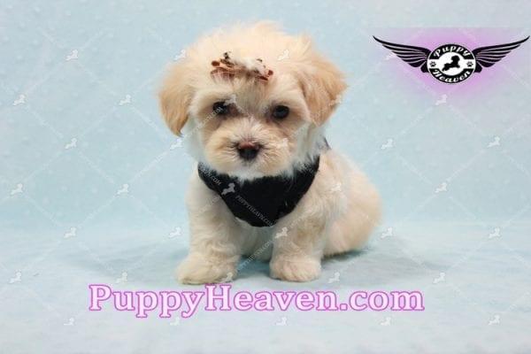 Mr. Handsome - Maltipoo Puppy -10618