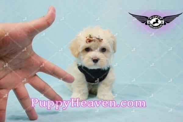 Mr. Handsome - Maltipoo Puppy -10621