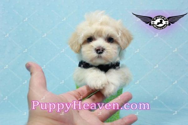 Mr. Handsome - Maltipoo Puppy -10624