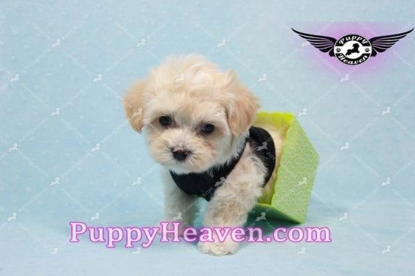 Mr. Handsome - Maltipoo Puppy -10616