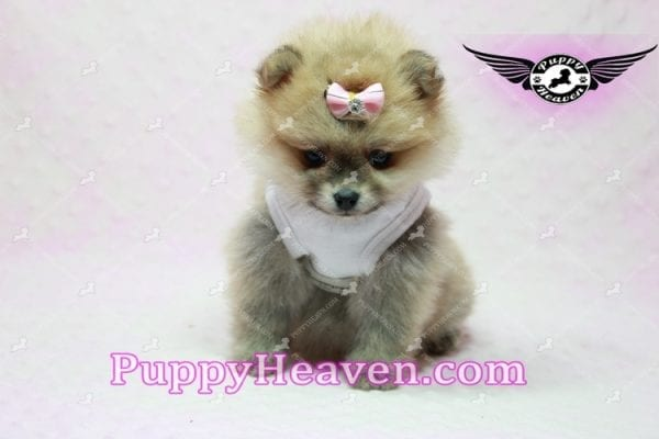 Natalie Cole - Teacup Pomeranian has found a good loving home with Devyn from West Hills, CA 91304-10454