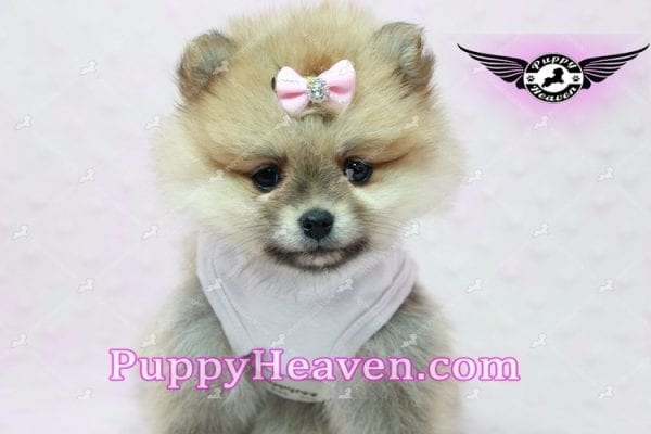 Natalie Cole - Teacup Pomeranian has found a good loving home with Devyn from West Hills, CA 91304-10451