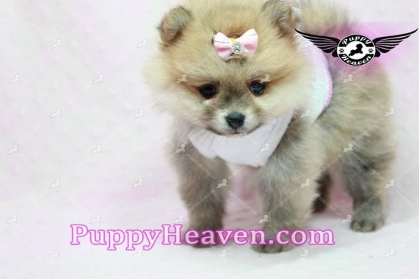 Natalie Cole - Teacup Pomeranian has found a good loving home with Devyn from West Hills, CA 91304-10449