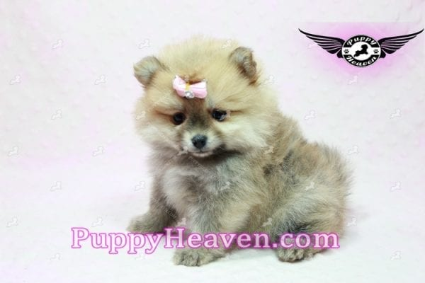 Natalie Cole - Teacup Pomeranian has found a good loving home with Devyn from West Hills, CA 91304-10459