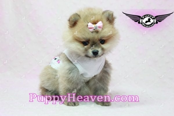 Natalie Cole - Teacup Pomeranian has found a good loving home with Devyn from West Hills, CA 91304-10457