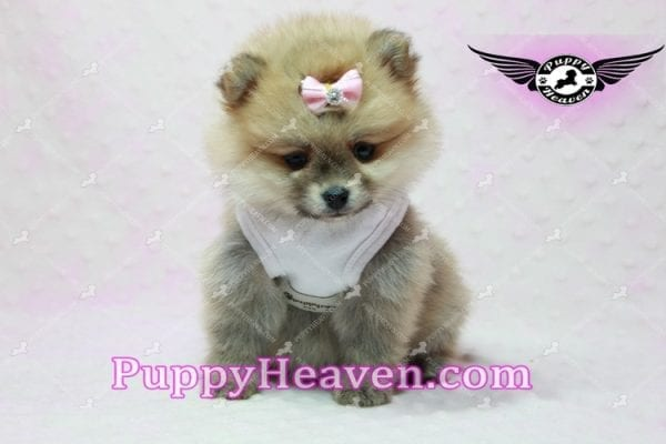 Natalie Cole - Teacup Pomeranian has found a good loving home with Devyn from West Hills, CA 91304-10448