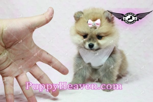 Natalie Cole - Teacup Pomeranian has found a good loving home with Devyn from West Hills, CA 91304-10460