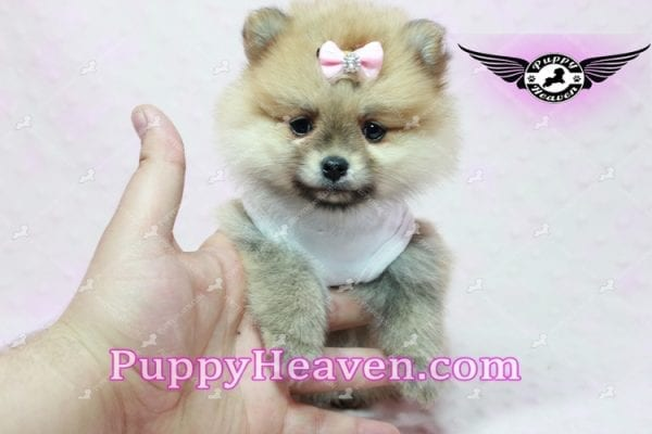 Natalie Cole - Teacup Pomeranian has found a good loving home with Devyn from West Hills, CA 91304-10452