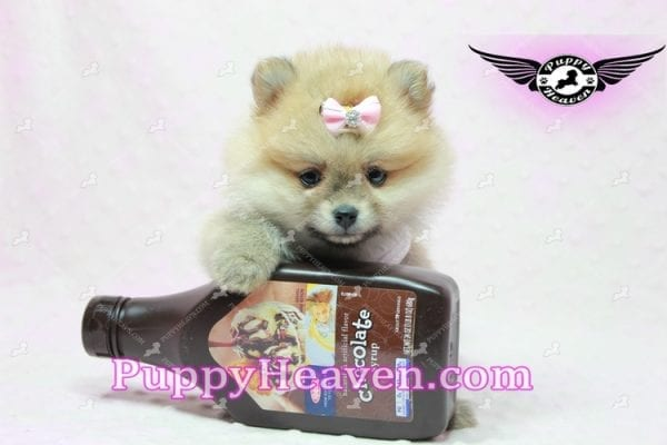 Natalie Cole - Teacup Pomeranian has found a good loving home with Devyn from West Hills, CA 91304-0