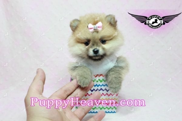 Natalie Cole - Teacup Pomeranian has found a good loving home with Devyn from West Hills, CA 91304-10456