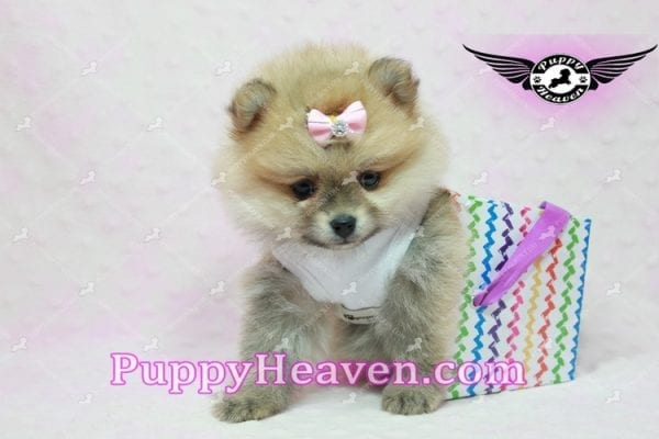 Natalie Cole - Teacup Pomeranian has found a good loving home with Devyn from West Hills, CA 91304-10450