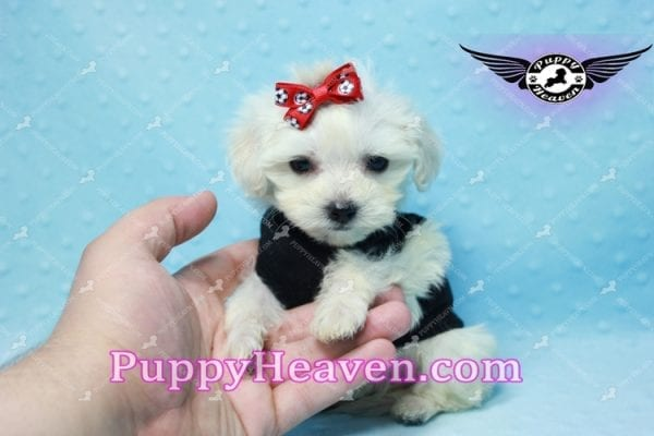 Paris -Teacup Malshi Puppy Has Found A Loving Home With Alisha in Las Vegas, NV 89131!-10197