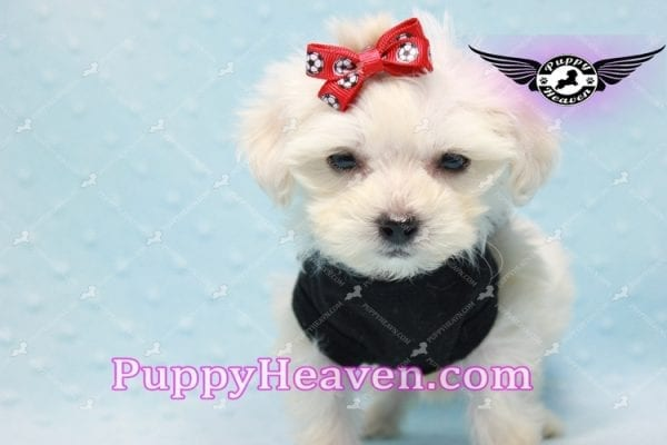 Paris -Teacup Malshi Puppy Has Found A Loving Home With Alisha in Las Vegas, NV 89131!-10201