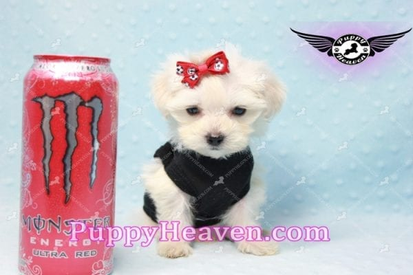 Paris -Teacup Malshi Puppy Has Found A Loving Home With Alisha in Las Vegas, NV 89131!-10192