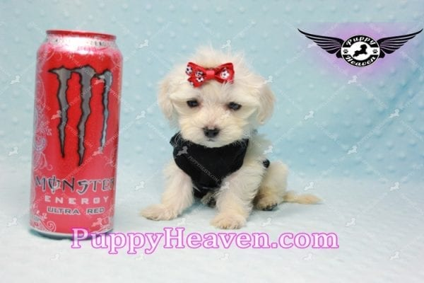 Paris -Teacup Malshi Puppy Has Found A Loving Home With Alisha in Las Vegas, NV 89131!-0