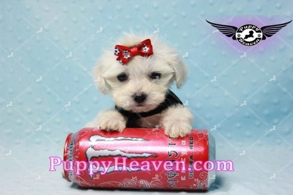 Paris -Teacup Malshi Puppy Has Found A Loving Home With Alisha in Las Vegas, NV 89131!-10196