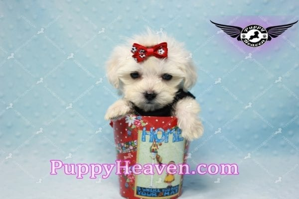 Paris -Teacup Malshi Puppy Has Found A Loving Home With Alisha in Las Vegas, NV 89131!-10199