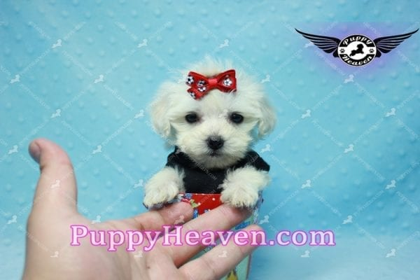 Paris -Teacup Malshi Puppy Has Found A Loving Home With Alisha in Las Vegas, NV 89131!-10191