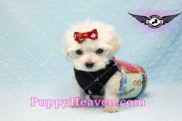 Paris -Teacup Malshi Puppy Has Found A Loving Home With Alisha in Las Vegas, NV 89131!-10202