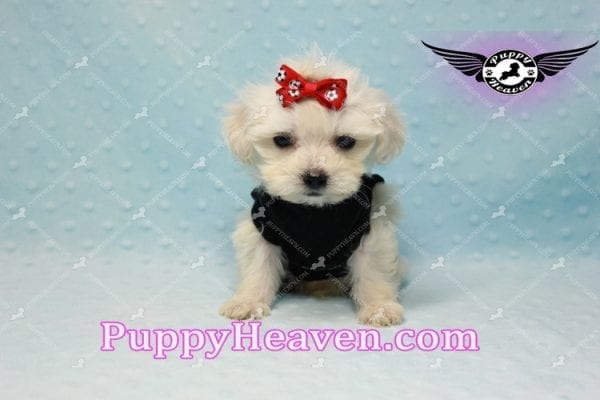 Paris -Teacup Malshi Puppy Has Found A Loving Home With Alisha in Las Vegas, NV 89131!-10198