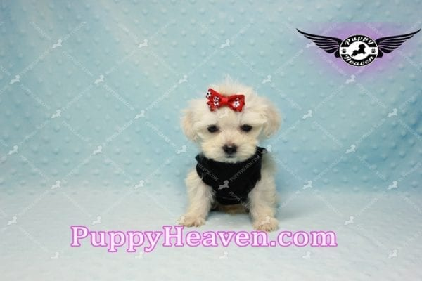 Paris -Teacup Malshi Puppy Has Found A Loving Home With Alisha in Las Vegas, NV 89131!-10193