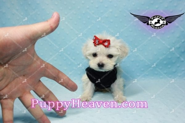 Paris -Teacup Malshi Puppy Has Found A Loving Home With Alisha in Las Vegas, NV 89131!-10200