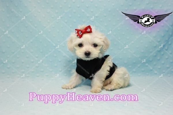 Paris -Teacup Malshi Puppy Has Found A Loving Home With Alisha in Las Vegas, NV 89131!-10195