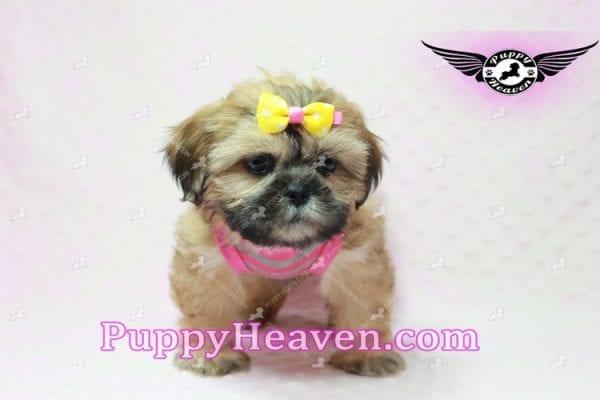Rose - Teacup Shih Tzu Puppy-10341