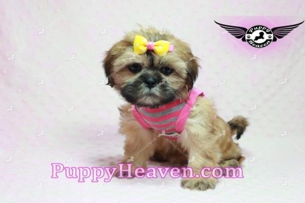 Rose - Teacup Shih Tzu Puppy-10334