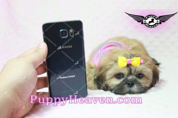 Rose - Teacup Shih Tzu Puppy-10344