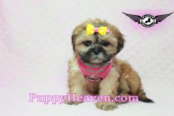 Rose - Teacup Shih Tzu Puppy-10342