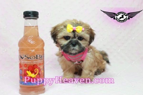 Rose - Teacup Shih Tzu Puppy-10333