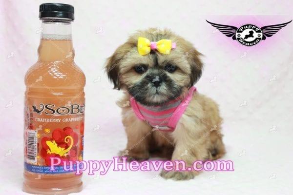 Rose - Teacup Shih Tzu Puppy-0