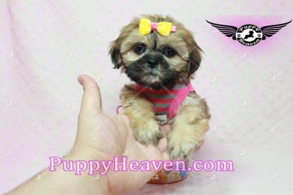 Rose - Teacup Shih Tzu Puppy-10340