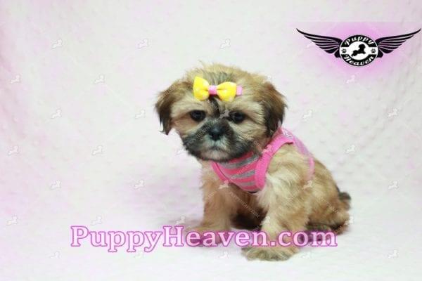 Rose - Teacup Shih Tzu Puppy-10335