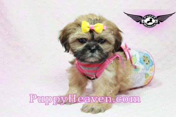 Rose - Teacup Shih Tzu Puppy-10338