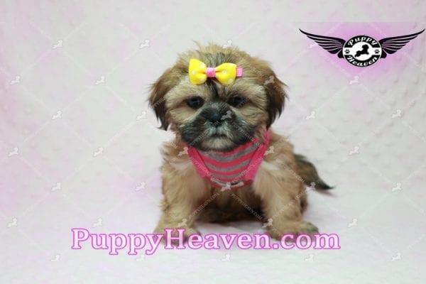 Rose - Teacup Shih Tzu Puppy-10343