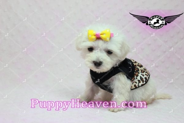 Santa Monica - Teacup Malshi Puppy has found a good loving home with Magalys from Las Vegas, NV 89122-10265