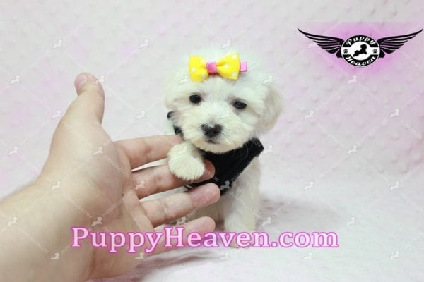 Santa Monica - Teacup Malshi Puppy has found a good loving home with Magalys from Las Vegas, NV 89122-10259