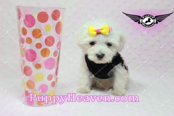 Santa Monica - Teacup Malshi Puppy has found a good loving home with Magalys from Las Vegas, NV 89122-0
