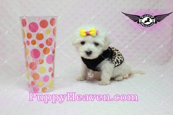 Santa Monica - Teacup Malshi Puppy has found a good loving home with Magalys from Las Vegas, NV 89122-10260
