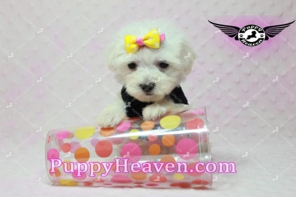 Santa Monica - Teacup Malshi Puppy has found a good loving home with Magalys from Las Vegas, NV 89122-10263