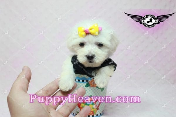 Santa Monica - Teacup Malshi Puppy has found a good loving home with Magalys from Las Vegas, NV 89122-10266