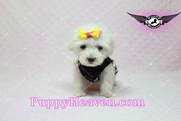 Santa Monica - Teacup Malshi Puppy has found a good loving home with Magalys from Las Vegas, NV 89122-10261
