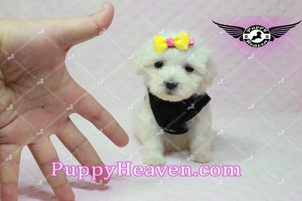 Santa Monica - Teacup Malshi Puppy has found a good loving home with Magalys from Las Vegas, NV 89122-10258