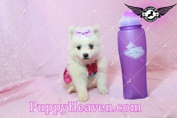 Snow White - Teacup Pomeranian Has Found A Loving Home With Josef & Natassia in Las Vegas, NV 89145!-10232