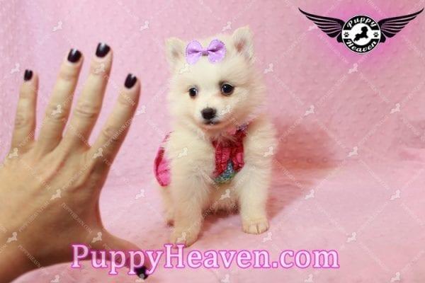 Snow White - Teacup Pomeranian Has Found A Loving Home With Josef & Natassia in Las Vegas, NV 89145!-10229