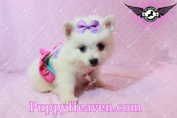 Snow White - Teacup Pomeranian Has Found A Loving Home With Josef & Natassia in Las Vegas, NV 89145!-10231