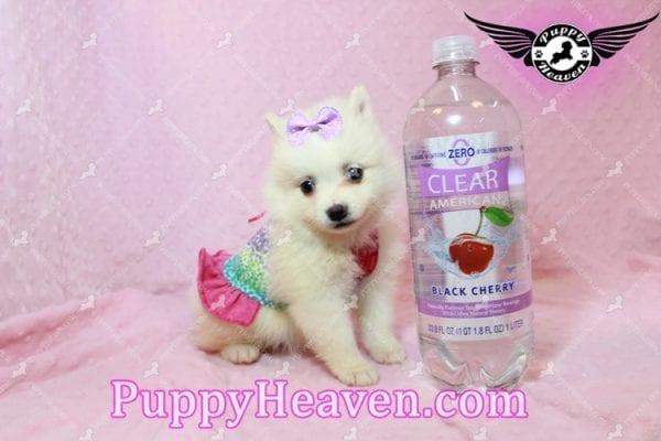 Snow White - Teacup Pomeranian Has Found A Loving Home With Josef & Natassia in Las Vegas, NV 89145!-0